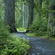 Path Through The Cedars Art Print