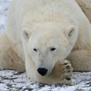 Polar Bear Patience Art Print