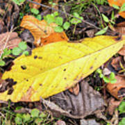 Paw Paw Leaf Fall Colors Art Print