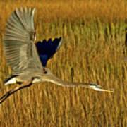 Pb296601 Great Blue Heron Art Print