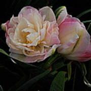 Pe0ny Tulip Duet 2 Art Print