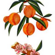 Peach And Peach Blossoms Art Print