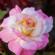 Peach And White Rose Art Print