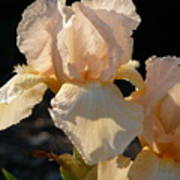 Peach Bearded Iris Art Print