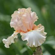 Peach Color Iris Art Print