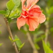 Peach Hibiscus Art Print