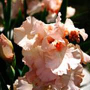 Peach Iris Art Print