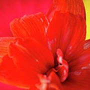 Peach Melba Red Amaryllis Flower On Raspberry Ripple Pink And Yellow Background Art Print by Andy Smy