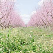 Peach Orchard 4 Art Print
