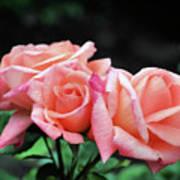 Peach Rosebud Trio Art Print