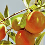 Peaches On The Tree Art Print