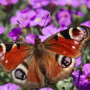 Peacock Butterfly Art Print