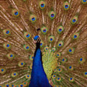 Peacock 01 Art Print