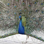 Peacock 03 Art Print
