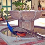 Peacock - Havana Cuba Art Print
