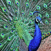 Peacock In A Oak Glen Autumn 2 Art Print