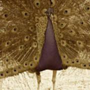Peacock In Sepia Art Print