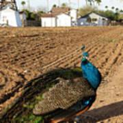 Peacock On The Farm Art Print