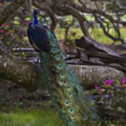 Peacock On The Plantation Art Print