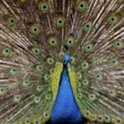 Peacock Plumage Art Print