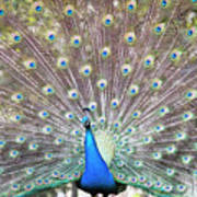 Peacock Show Art Print
