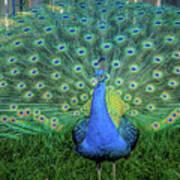 Peacock1 Art Print