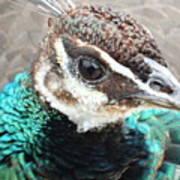 Peacocks Eye View Art Print