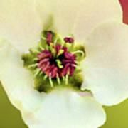 Pear Petals Art Print
