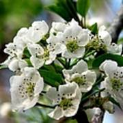 Pear Tree Blossoms 1 Art Print