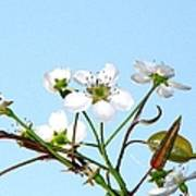 Pear Tree Blossoms 6 Art Print