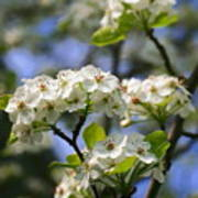Pear Tree Blossoms Art Print