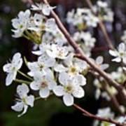 Pear Tree Blossoms IIi Art Print