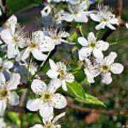 Pear Tree Blossoms Iv Art Print