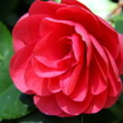 Pearl Of Beauty - Red Camellia Art Print