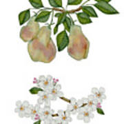 Pears And Pear Blossoms Art Print