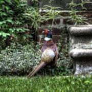 Peasant Pheasant Art Print