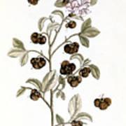 Peco Tea, 1735 Art Print