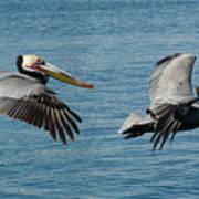 Pelican Duo Art Print