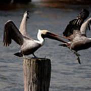 Pelican Fight Art Print