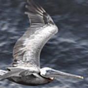 Pelican Flight Art Print