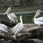 Pelican Grouping Art Print
