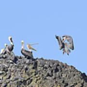 Pelican Landing On A Rock Art Print