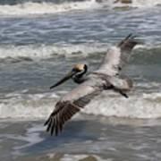 Pelican Soaring  Art Print