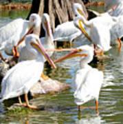 Pelican Squabble Art Print