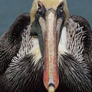 Pelican Stare Art Print