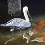Pelican Swim Art Print