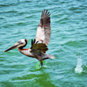 Pelican Taking Flight Art Print