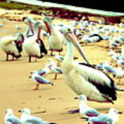 Pelicans At Pearl Beach 4.1 Art Print