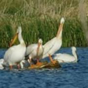 Pelicans Being Pelicans Art Print