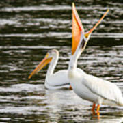 Pelicans Fishing Art Print